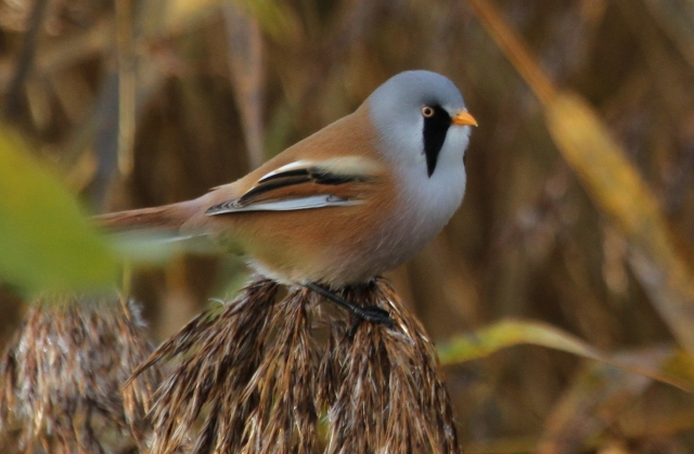 Male Bearded Tit, Stortons GP, 13th November 2013 (Alan Coles)