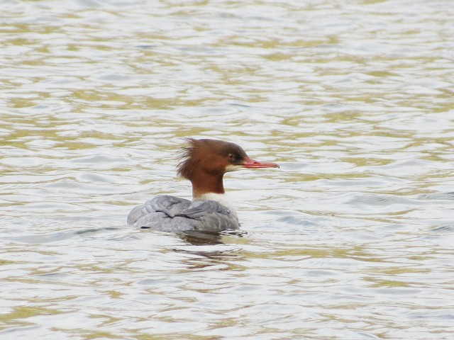 Female Goosander, Abington Park Lake, Northampton, 6th December 2013 (Martin Dove). This urban site has consistently provided local birders with close    photographic opportunities in recent winters.