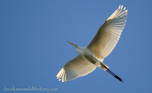 Great White Egret. Ditchford GP, 1st December 2013 (Dave James)