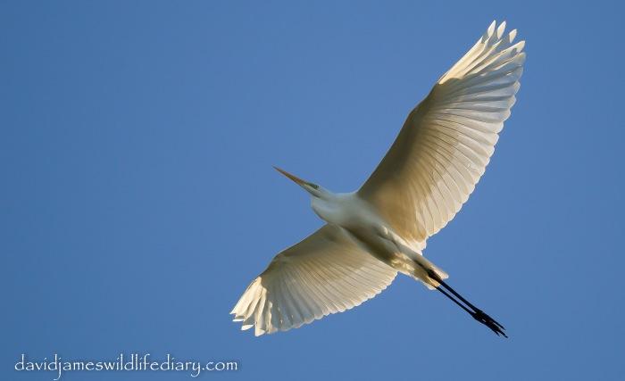 Great White Egret. Ditchford GP, 1st December 2013 (Dave James)
