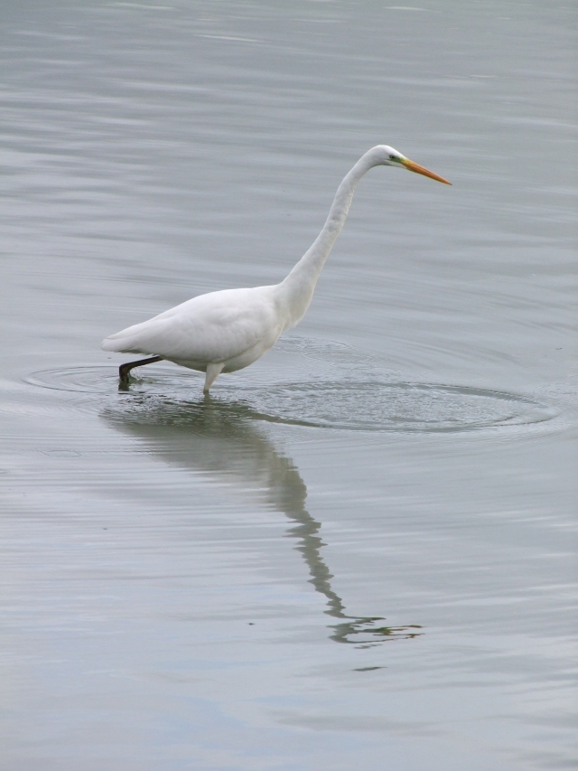 Great White Egret, Pitsford Res, 6th December 2013 (Douglas Goddard)