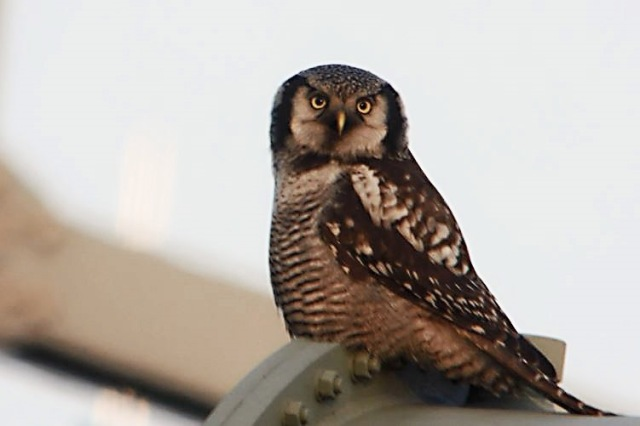 Hawk Owl, Zwolle, 10th December 2013 (Mike Alibone) 253.21