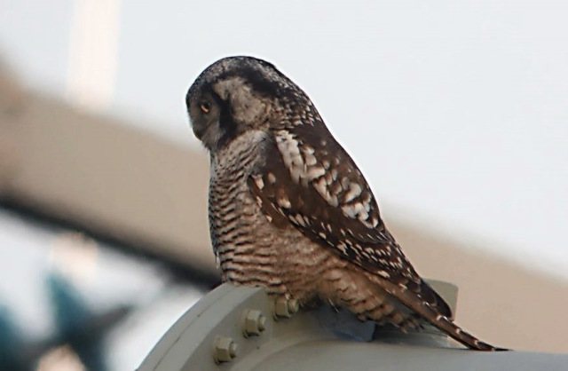 Hawk Owl, Zwolle, 10th December 2013 (Mike Alibone) 254.32