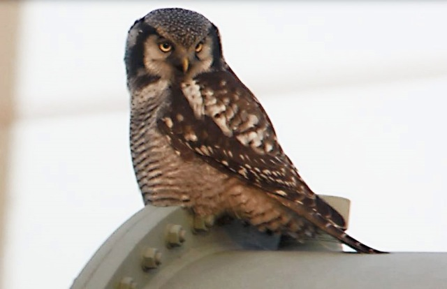 Hawk Owl, Zwolle, 10th December 2013 (Mike Alibone) 255.27