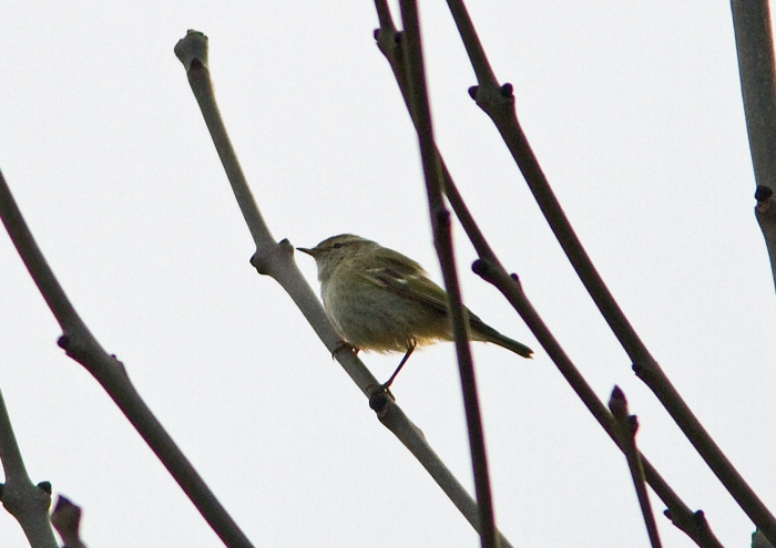 Hume's Warbler, Northamptonshire, 7th December 2013 (Neil Hasdell)