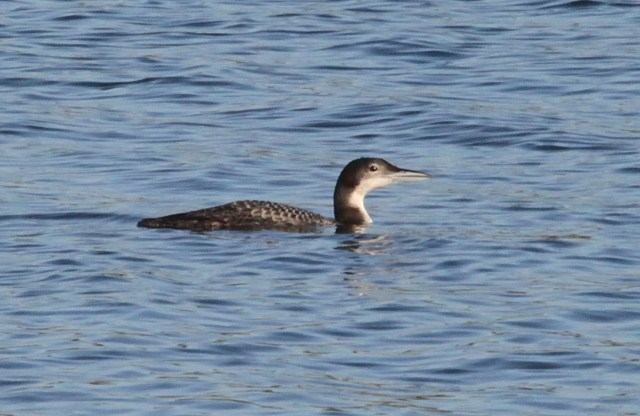 Juvenile Great Northern Diver, Pitsford Res, 19th December 2013 (Phil Jackman)