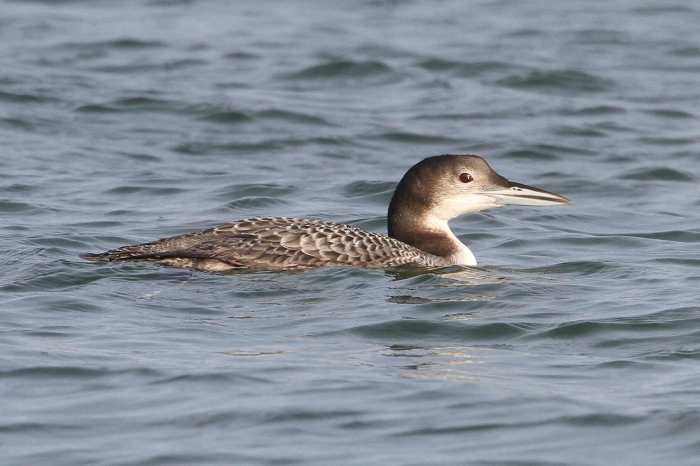 Juvenile Great Northern Diver, Pitsford Res, 20th December 2013 (Bob Bullock)