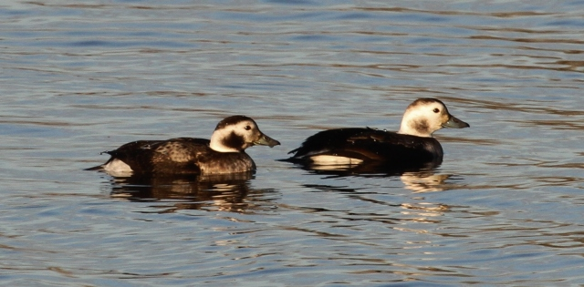 Long-tailed Ducks, Earls Barton GP, 30th November 2013 (Alan Coles)