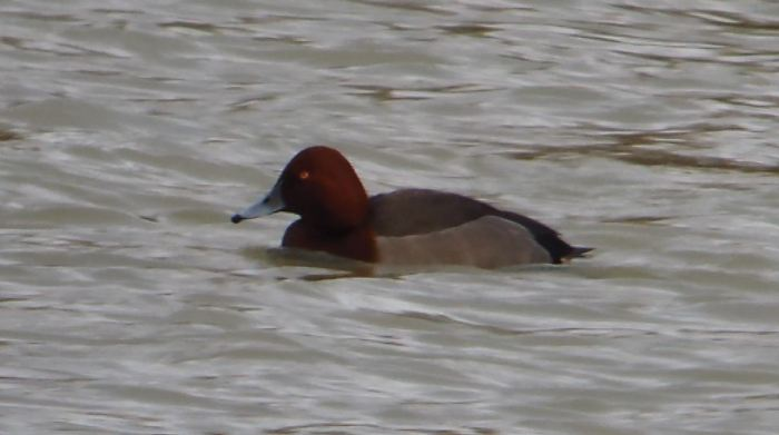 Pochard x Ferruginous Duck hybrid, Stortons GP, 31st December 2013 (Mike Alibone)1A