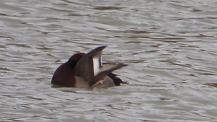 Pochard x Ferruginous Duck hybrid, Stortons GP, 31st December 2013 (Mike Alibone)2
