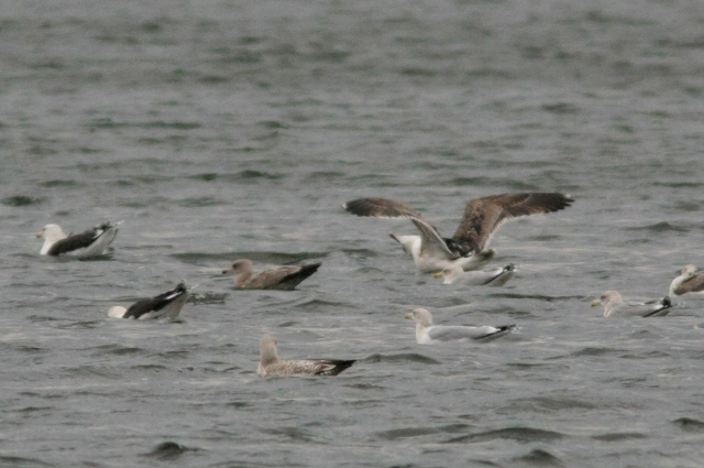 Probable second-winter American Herring Gull, Ditchford GP, 14th December 2013 (Martin Elliott)
