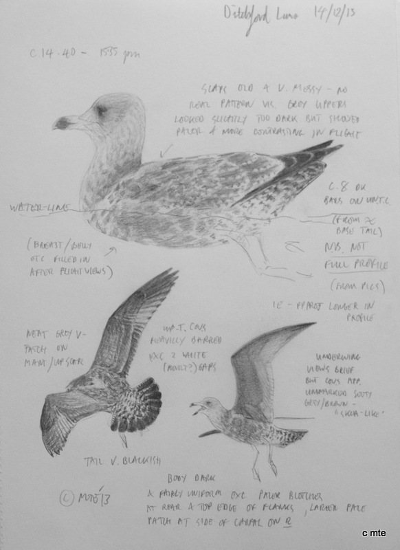 robable second-winter American Herring Gull, Ditchford GP, 14th December 2013, sketches by Martin Elliott