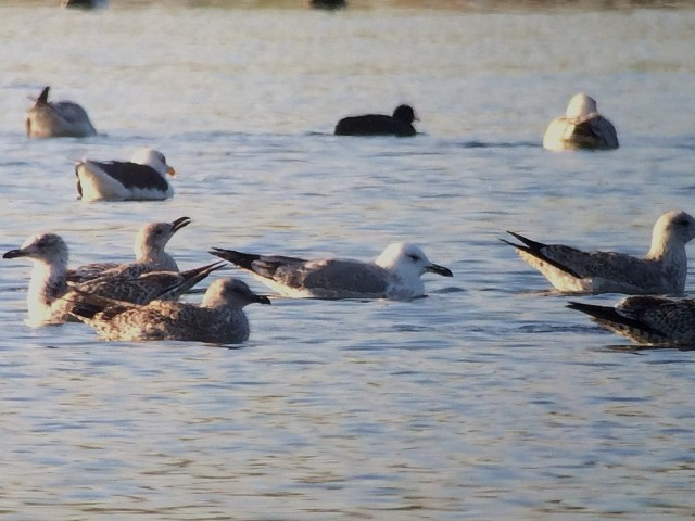 Second-winter Caspian Gull, Ditchford GP, 1st December 2013 (John Friendship-Taylor)