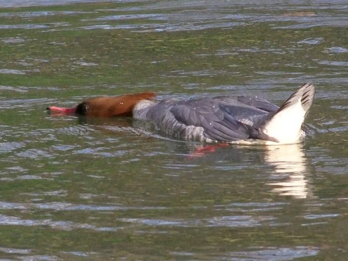 Female Goosander, Abington Park Lake, Northampton, January 2014 (Doug Goddard)