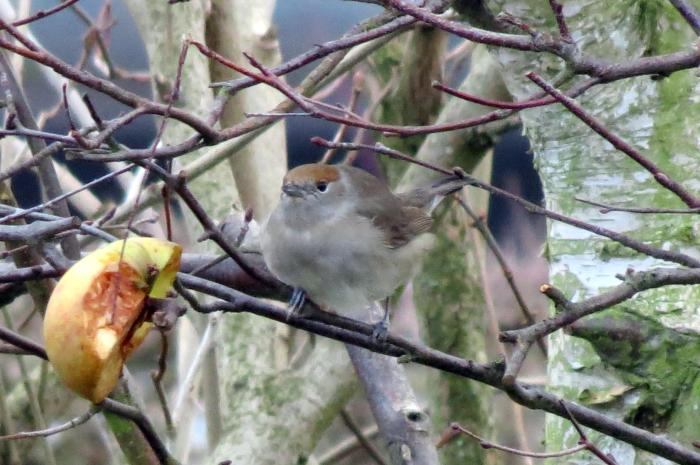 Central European Blackcap, Sywell, 27th December 2013 (Jim Dunkley)