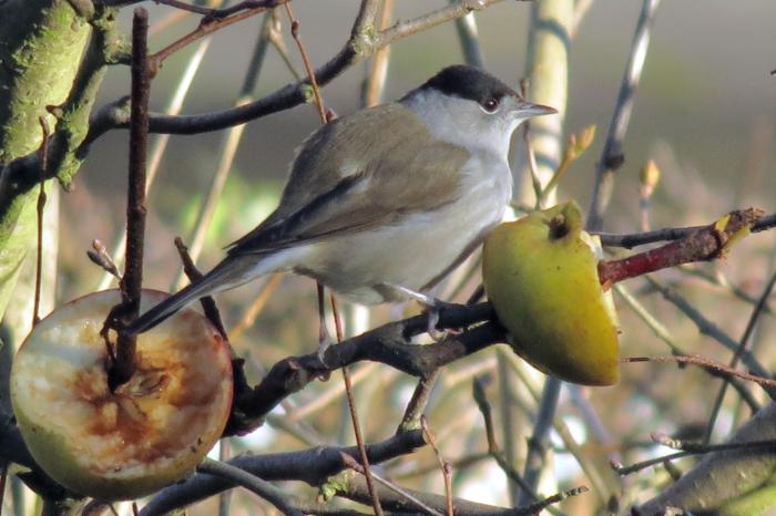 Central Europen Blackcap, Sywell, 11th January 2014 (Jim Dunkley)