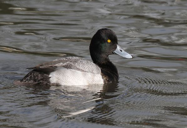 Drake Lesser Scaup, Newquay, Cornwall, 19th February 2012 (Brian R Field)