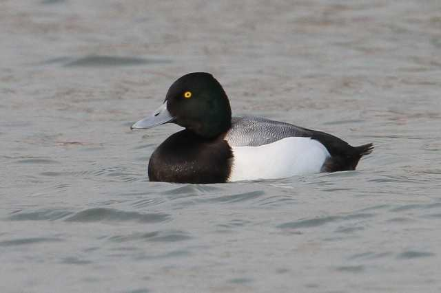 Drake Scaup, Ditchford GP, 12th January 2014 (Bob Bullock)