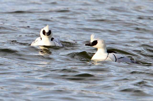 Drake Smew, Pitsford Res, 10th January 2014 (Bob Bullock)