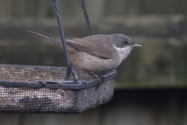 Eastern Lesser Whitethroat, Northampton 18th January 2014 (Dave Jackson)