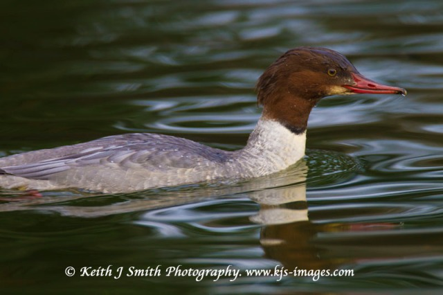 First-winter male Goosander, Abington Park, 22 Dec 2011 (Keith J Smith)