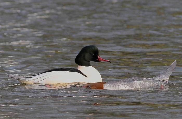 Goosanders, Abington Park Lake, Northampton, January 2014 (Dave Jackson)