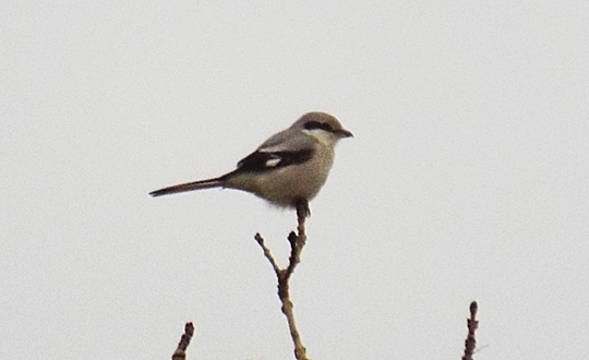 Great Grey Shrike, Lowick, 18th January 2014 (Alex Holt)