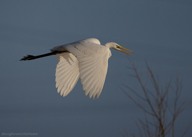 Great White Egret, Earls Barton GP, 6th January 2014 (Doug McFarlane)