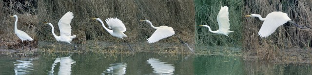 Great White Egret, Pitsford Res, 14th January 2014 (Glyn Dobbs)
