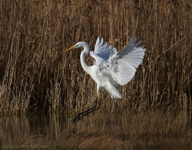 Great White Egret, Summer Leys LNR, 16th January 2014 (Doug McFarlane)