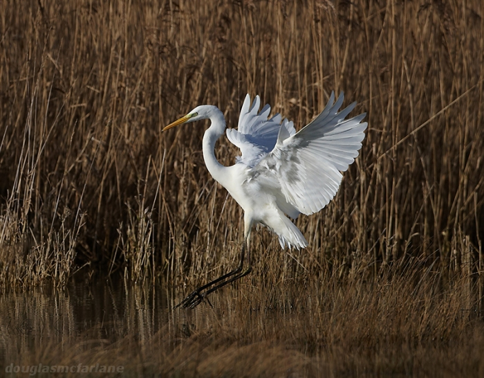 Great White Egret, Summer Leys LNR, 16th January 2014 (Doug McFarlane)