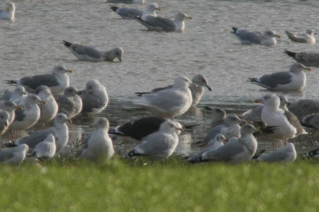 Adult Glaucous Gull, Wellingborough, 12th January 2014 (Martin Elliott)