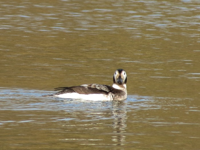 Long-tailed Duck, Earls Barton GP, 3rd January 2014 (Martin Dove)