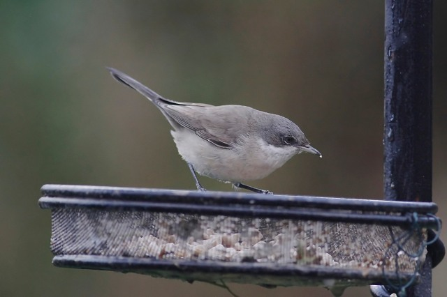 Lesser Whitehroat, Northampton, 17th January 2014 (Dave Jackson)