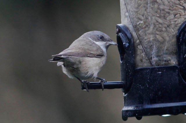 Lesser Whitethroat, Northampton, 17th January 2014 (Dave Jackson)2
