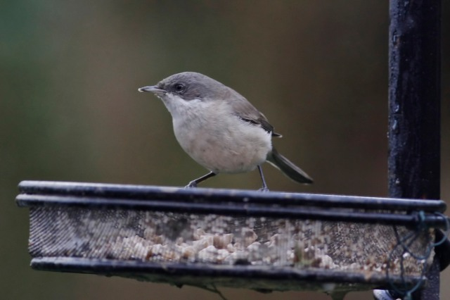 Lesser Whitethroat, Northampton, 17th January 2014 (Dave Jackson)