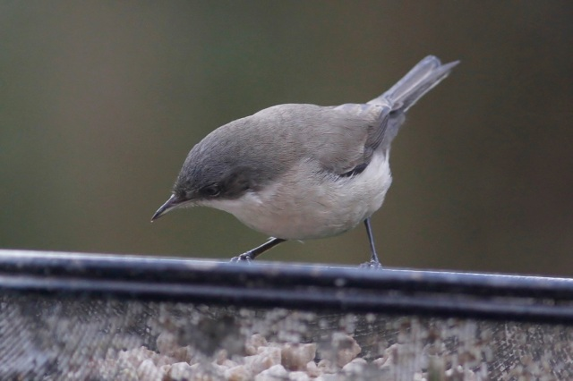 Lesser Whitethroat, Northampton, 17th January 2014 (Dave Jackson)4