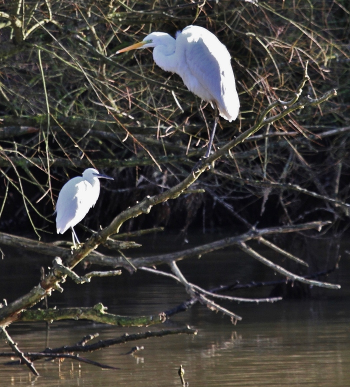 Little and Large. Little and Great White Egrets, Pitsford Res, 28th December 2013 (Alan Coles)