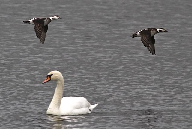 Long-tailed Ducks, Earls Barton GP, January 2014 (Dave Jackson)