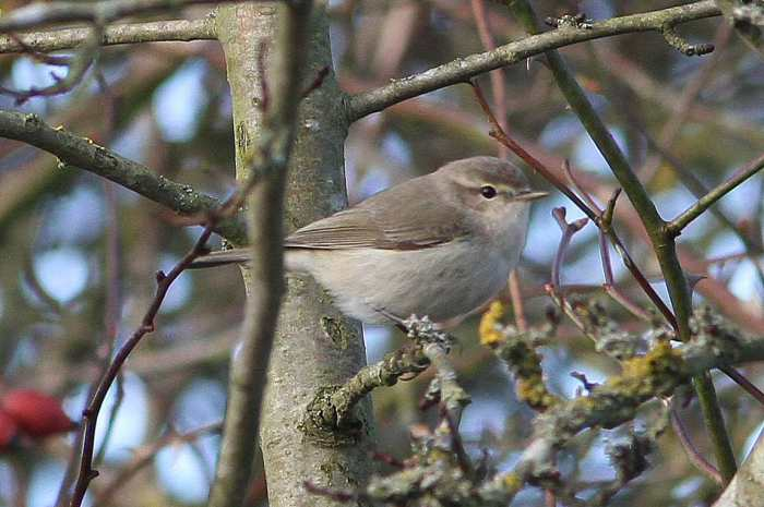 Siberian Chiffchaff, Ecton SF, 11th January 2014 (Bob Bullock)