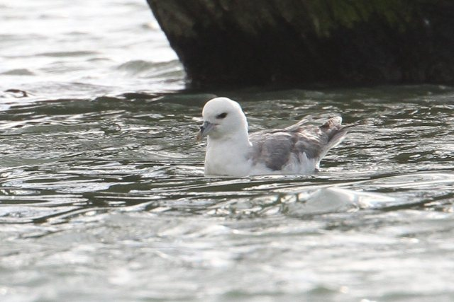 Fulmar, Ravensthorpe Res, 26th February 2014 (Bob Bullock)