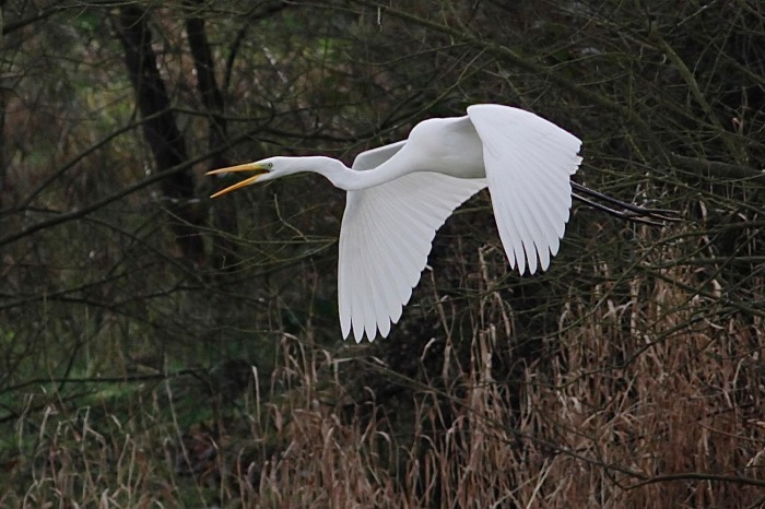 Great White Egret, Pitsford Res, 4th February 2014 (Dave Jackson)