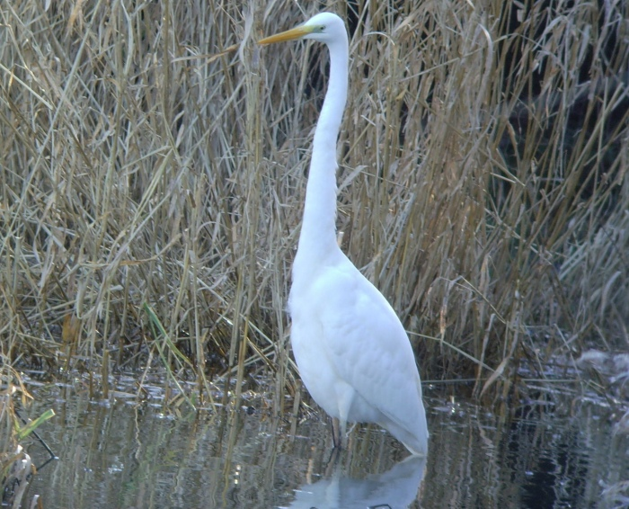 Great White Egret, Pitsford Res, 4th February 2014 (Geof Douglas)