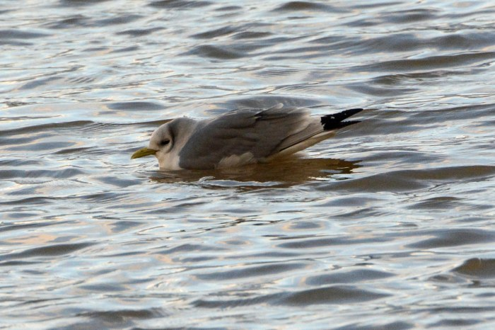 Kittiwake, Stanford Res, 10th February 2014 (John Moon)