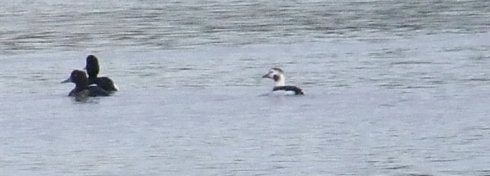 Long-tailed Duck, Clifford Hill GP, 10th February 2014 (Doug Goddard)