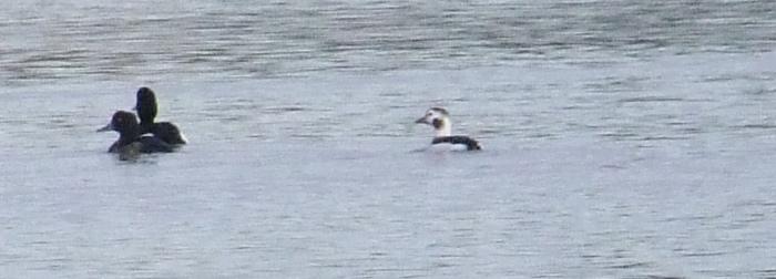 Long-tailed Duck, Clifford Hill GP, 10th February 2014 (Doug Goddard)