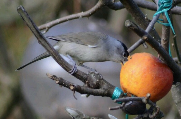 Male Central European Blackcap, Northampton, February 2014 (Stuart Mundy)