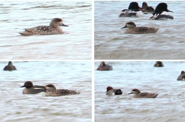 Marbled Duck, Stanwick GP, 20th February 2014 (Bob Bullock)