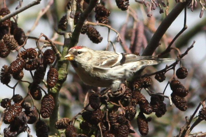 Mealy Redpoll, Daventry CP, 7th February 2014 (Bob Bullock)