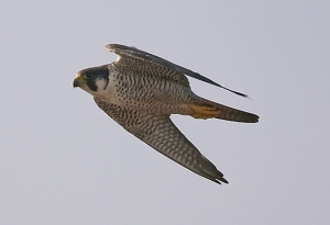 Peregrine, Summer Leys LNR, 27th September (Doug McFarlane)